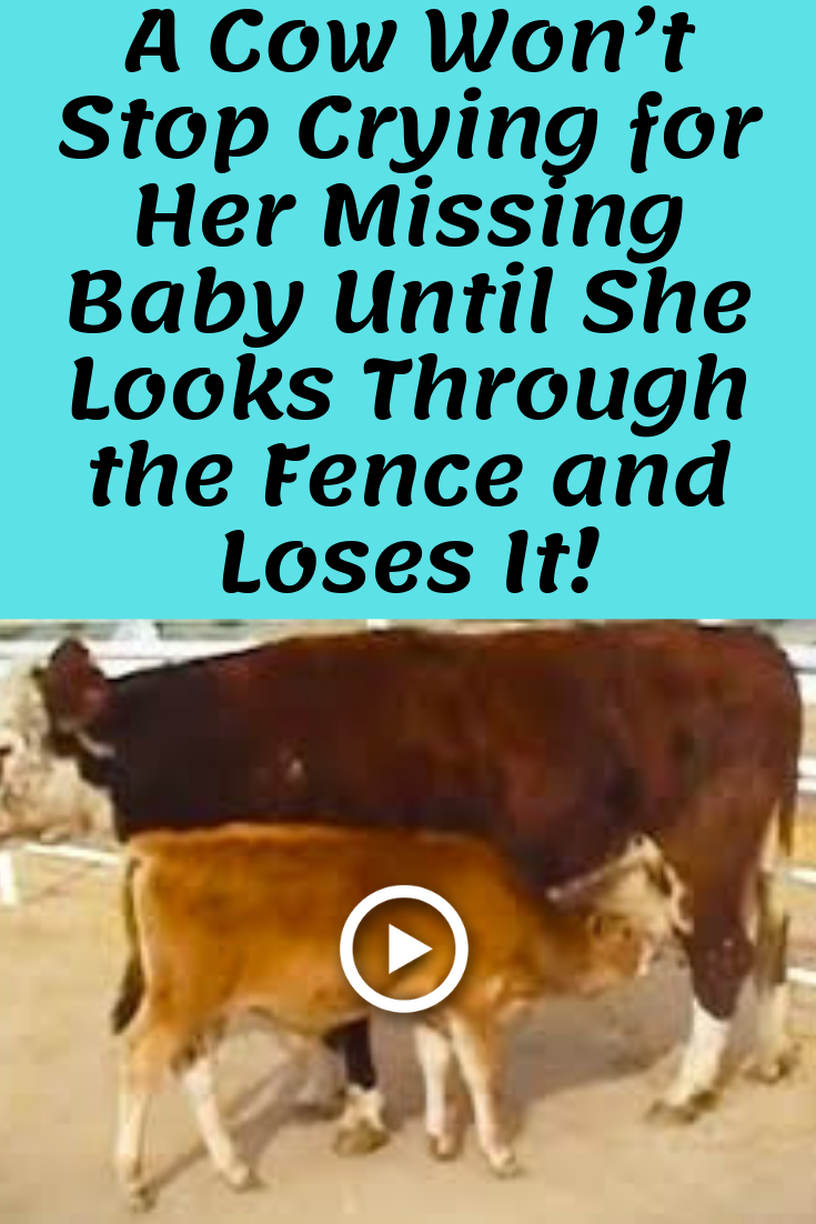 A Cow Won't Stop Crying for Her Missing Baby Until She