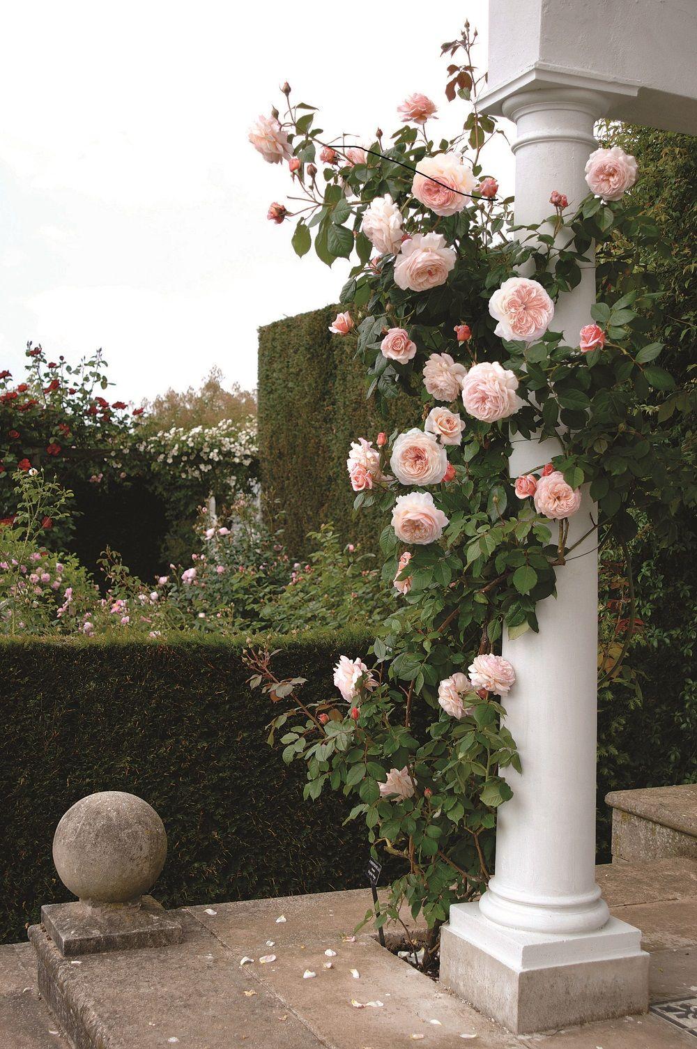Piante Di Rose Rampicanti a shropshire lad - climbing rose   rose rampicanti, angolo