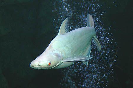 White iridescent shark catfish requin silure anim - Poisson shark aquarium ...