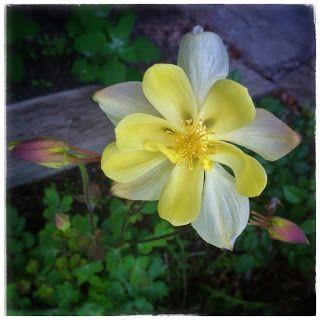 Columbine flower front side.