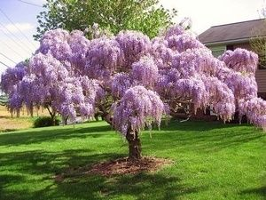 I Am Training A Wisteria To Grow Into A Weeping Tree It S Only 3 Ft Tall Now But Will Look Even Better Than This In A Co Wisteria Tree Flowering Trees Plants