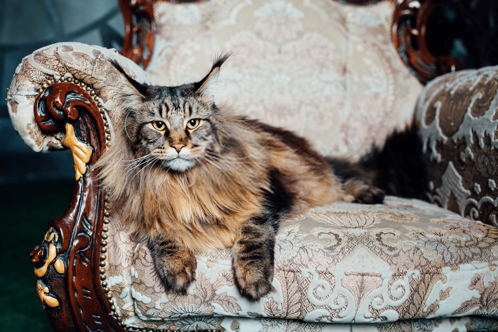 Pin on Maine Coon Cats Health & Behavior