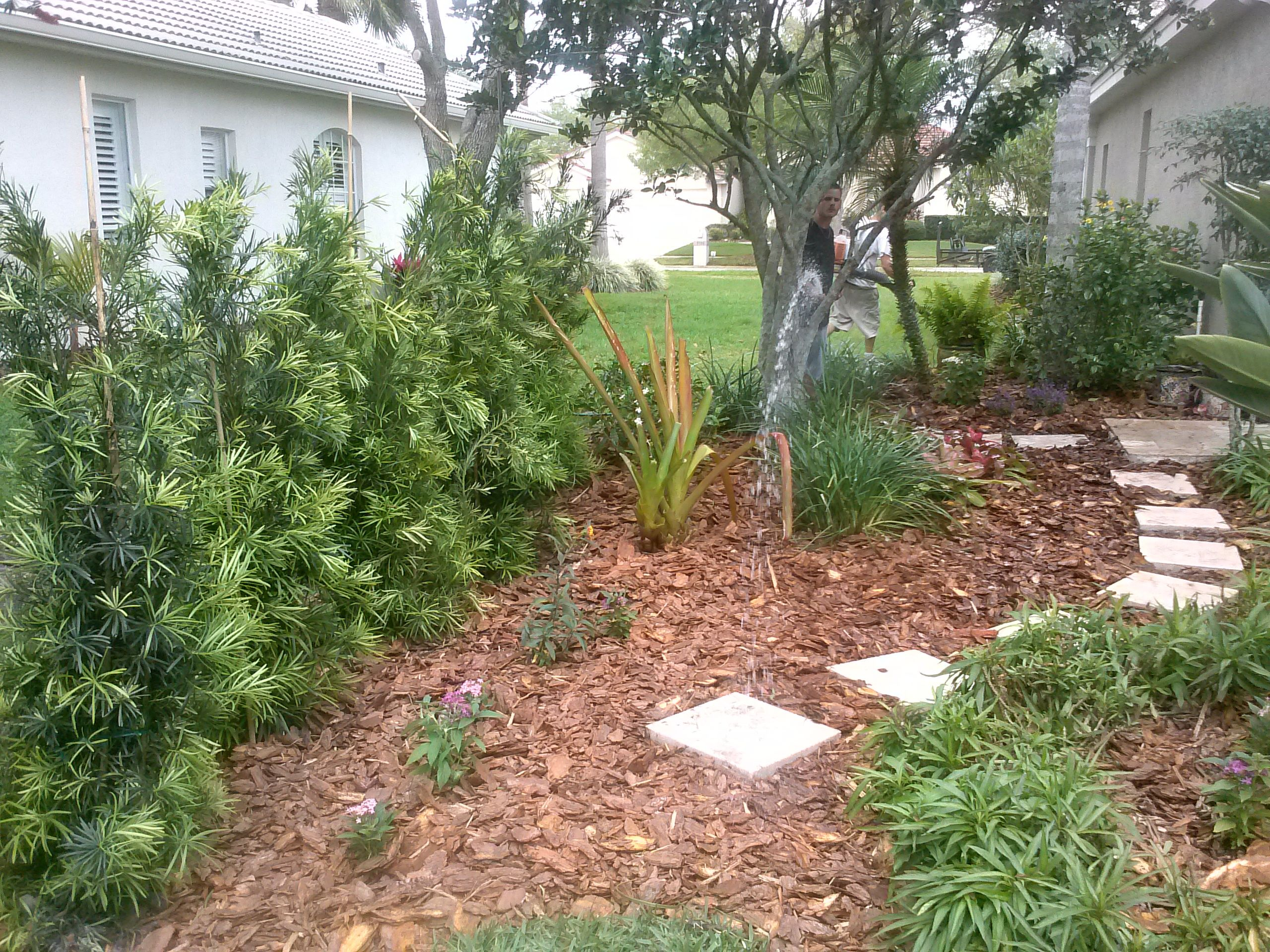 Podocarpus plants to create a pool privacy barrier | Privacy ...