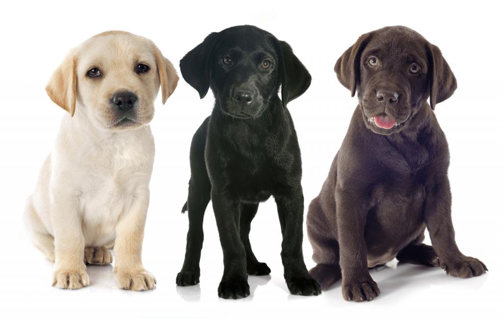 Labrador Vs Golden The Battle Of The Retrievers Practical Paw Labrador Labrador Retriever Facts Labrador Retriever