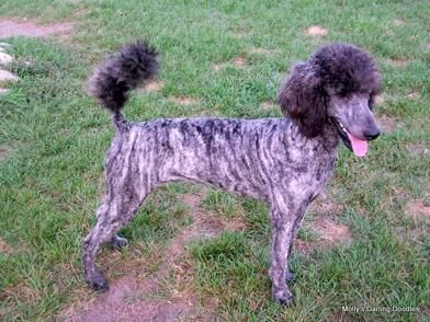 Shakors Blue Brindle Of Jinx I Didn T Know Poodles Came In Brindle