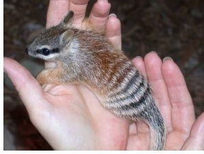 """""""Numbats are not closely related to other marsupials and it is speculated that…"""
