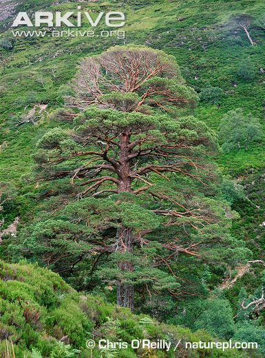 Mature scots pine tree on hillside beech forest for Mature pine trees