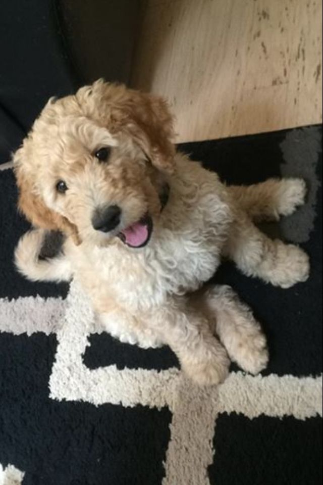 goldendoodle haircuts golden doodle haircut doggie stuff goldendoodle haircut dogs pinterest goldendoodle