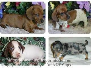 Dachshund Dog Puppy Website Listings At Puppysites Com Dachshund Dachshund Dog Dog Love