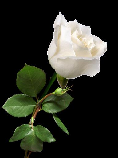 Tumblr Static Steim Rose White Png 384 512 Rosas Brancas Rosa Branca Rosas