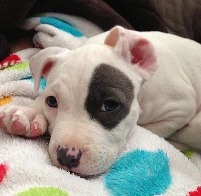 White Nose Pit With Black Spot Moo Moo Pitbulls Pinterest