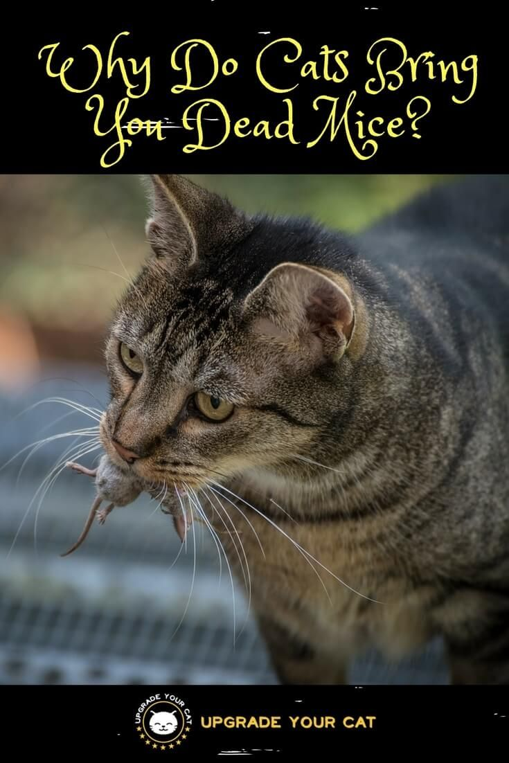 Why Do Cats Bring You Dead Mice For Them They Are Delivering You A Prized Gift They Took The Time To Hunt And Catch For You It Dead Mouse Cats Cat