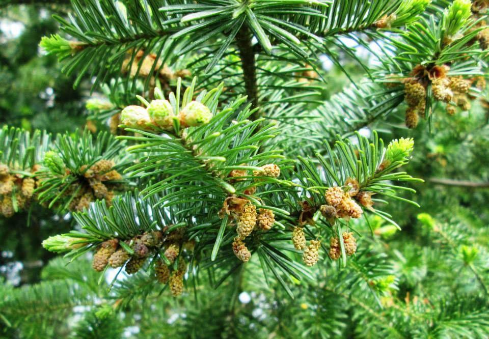 Scots pine. Plants, Pandan, Fruit