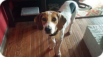 Knoxville Tn Beagle Hound Unknown Type Mix Meet Hank A Dog