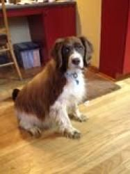 #Adoptable #dog: #English #Springer #Spaniel - #Rochester, #MN - Ginger is in search of a home to call her own. Please help her find one by sharing this post. Thanks. Medium • Senior • Female • Pet ID: TBD • Spayed/Neutered • Up-to-date with routine shots • House trained • Special Needs • Primary colors: White or Cream, Brown or Chocolate • Coat length: Medium.