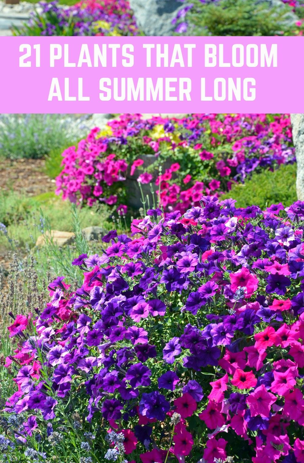 Plant these gorgeous flowers and enjoy their beauty all summer long.