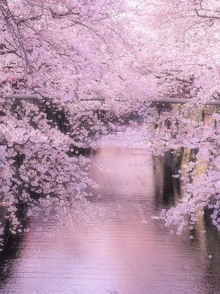 Lifeisverybeautiful Meguro River Tokyo Japan By Kuniaki Tsukui Via Tokyocameraclub Cherry Blossom Nature Landscape Beautiful Landscapes