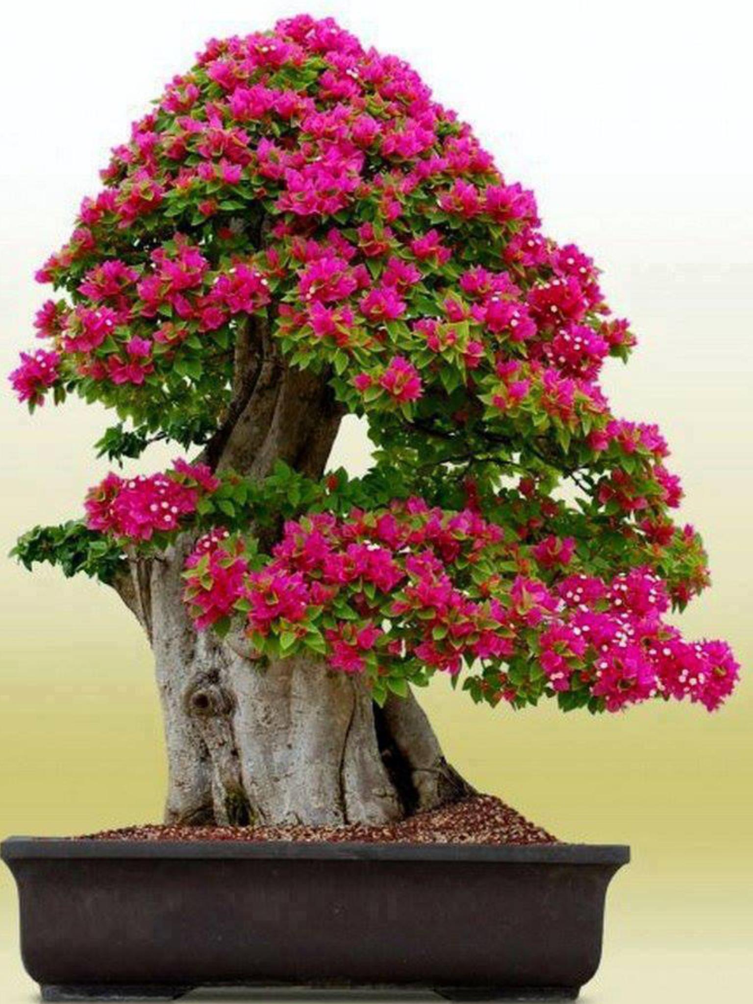 Bonsai Bougainvillea Bonsai Bonsai Tree Flowering Bonsai Tree