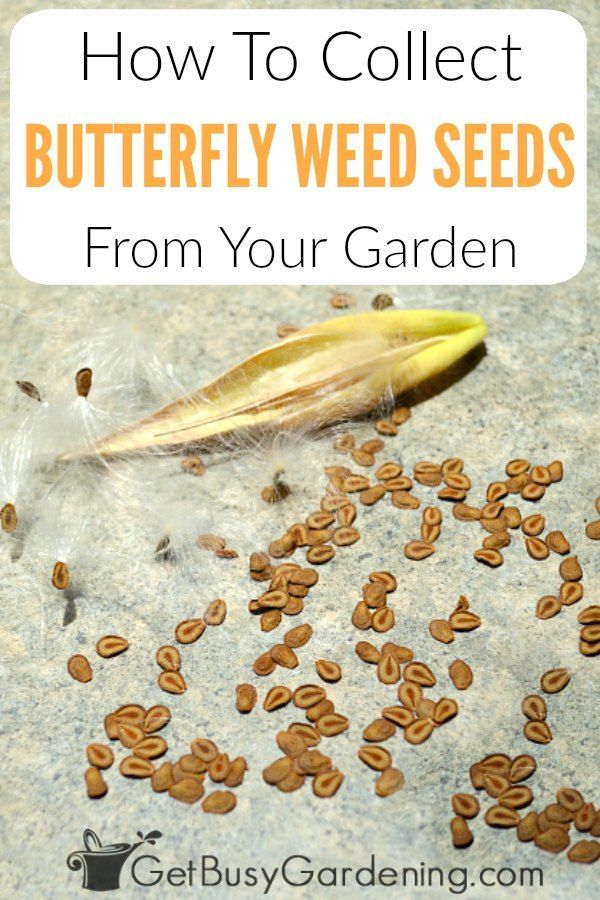 Photo of How To Harvest Butterfly Weed Seeds