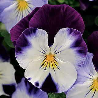 Cool Wave Violet Wing Pansy Seeds Pansies Flowers Pansies Winter Pansies