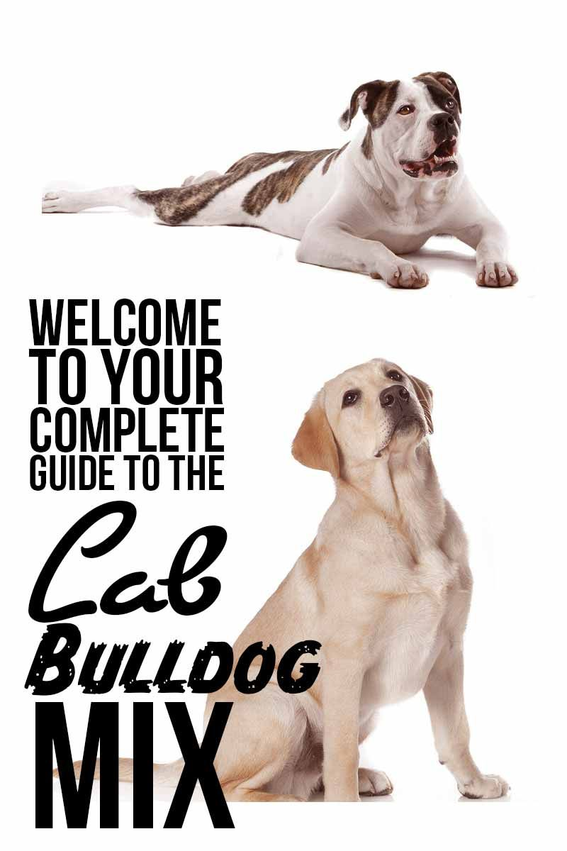 What To Know About Bulladors Labrabulls American Bulldog Lab Mix American Bulldog Puppies Bulldog Labrador Puppies Mix