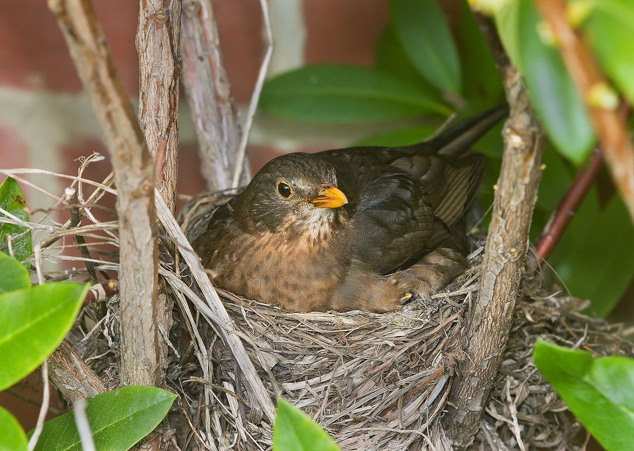 Common Blackbird Turdus Merula Cup Nest In Australia
