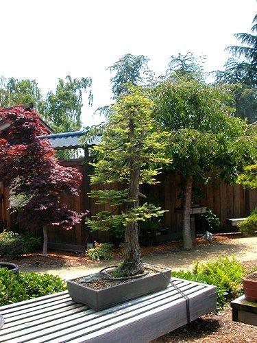 Giant Sequoia Bonsai Giant Sequoia Seedling Google Search Bonsai Tree Outdoor Bonsai Tree Indoor Bonsai Tree