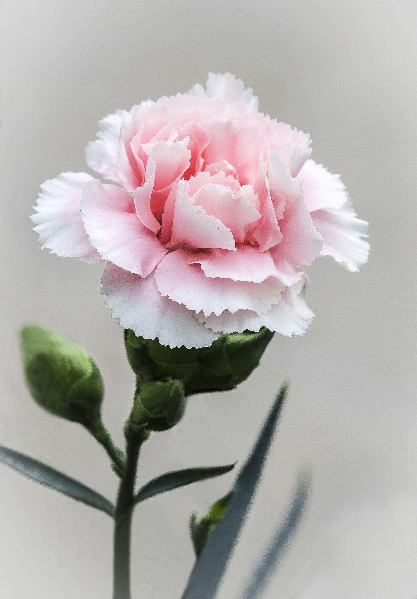 Pink Carnation Pink Carnations Carnation Flower Pretty Flowers