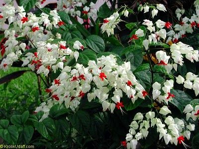 Lagrima De Cristo Ou Clerodendro Trepador Clerodendrum Thomsonae - Flores-de-sombra