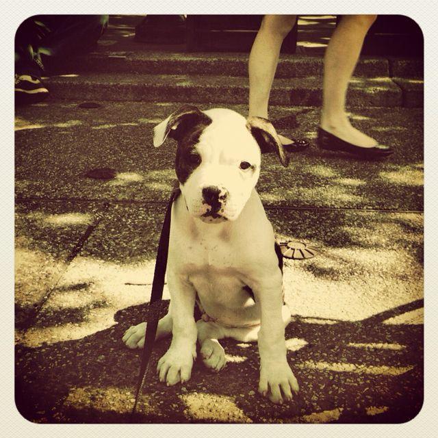 My American Bulldog Puppy Buckley Dogs Pinterest
