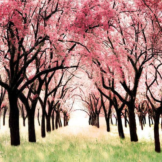 Printable Fine Art Cherry Blossoms Photograph Pink Trees Etsy Nature Photography Pink Trees Nature