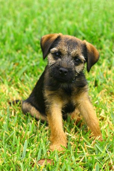 Border Terrier Puppies Puppy Dog Pictures Terrier Puppy