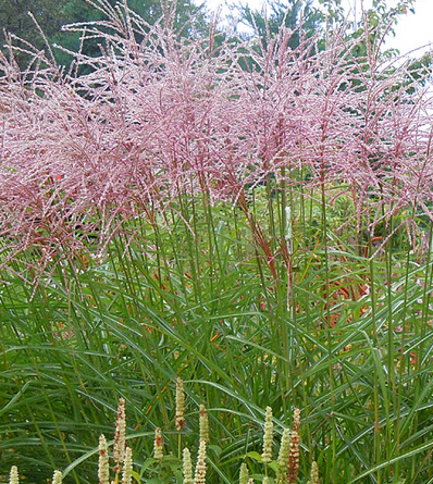 Miscanthus sinensis flamingo ou roseau de chine plantes for Hearty ornamental grasses