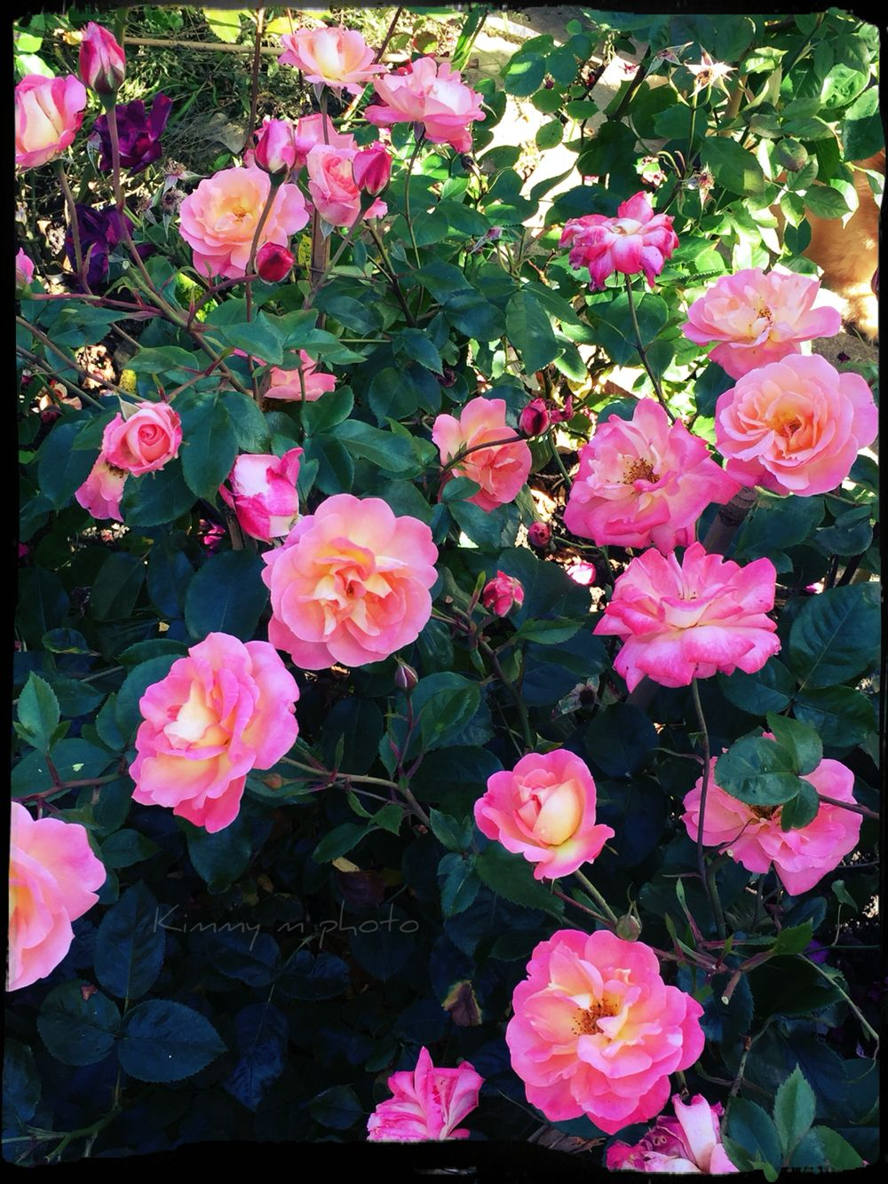 Rose summer beauty full flush very pretty pink yellow rose sweet rose summer beauty full flush very pretty pink yellow rose sweet fragrant beautiful flower izmirmasajfo