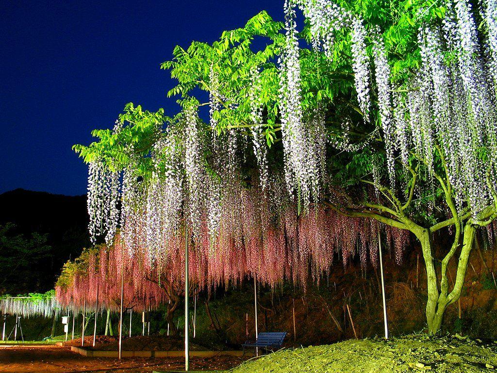 藤 フジ の花 藤棚のライトアップ壁紙写真 春の花風景写真無料写真