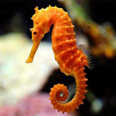 Seahorse 4 Calendar Png 410 410 Beautiful Sea Creatures Sea Animals Colorful Seahorse