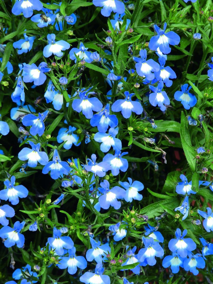 Lobelia superior blue plants flowers blue