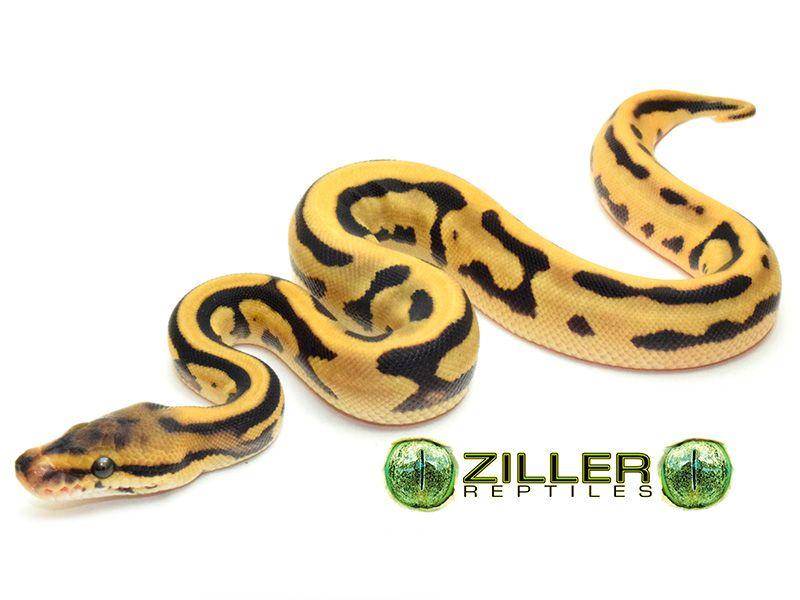 Leopard Orange Dream Vanilla Morph List World Of Ball Pythons