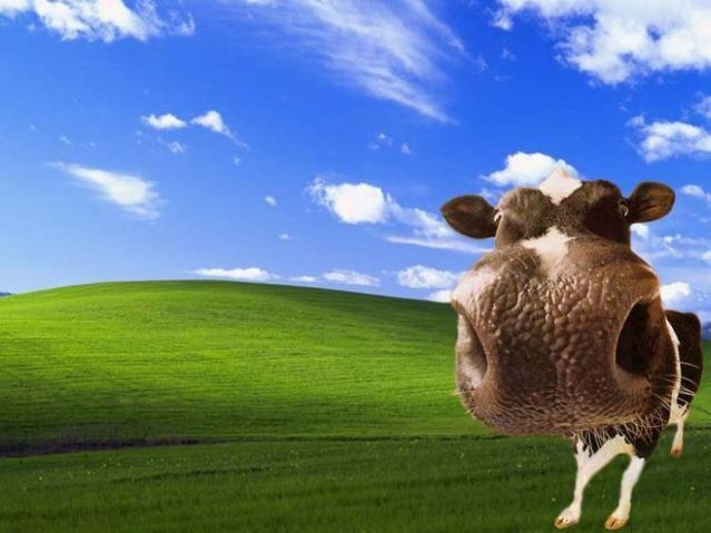 Windows Funny Wallpapers Cow Wallpaper Cow Pictures Funny Wallpapers