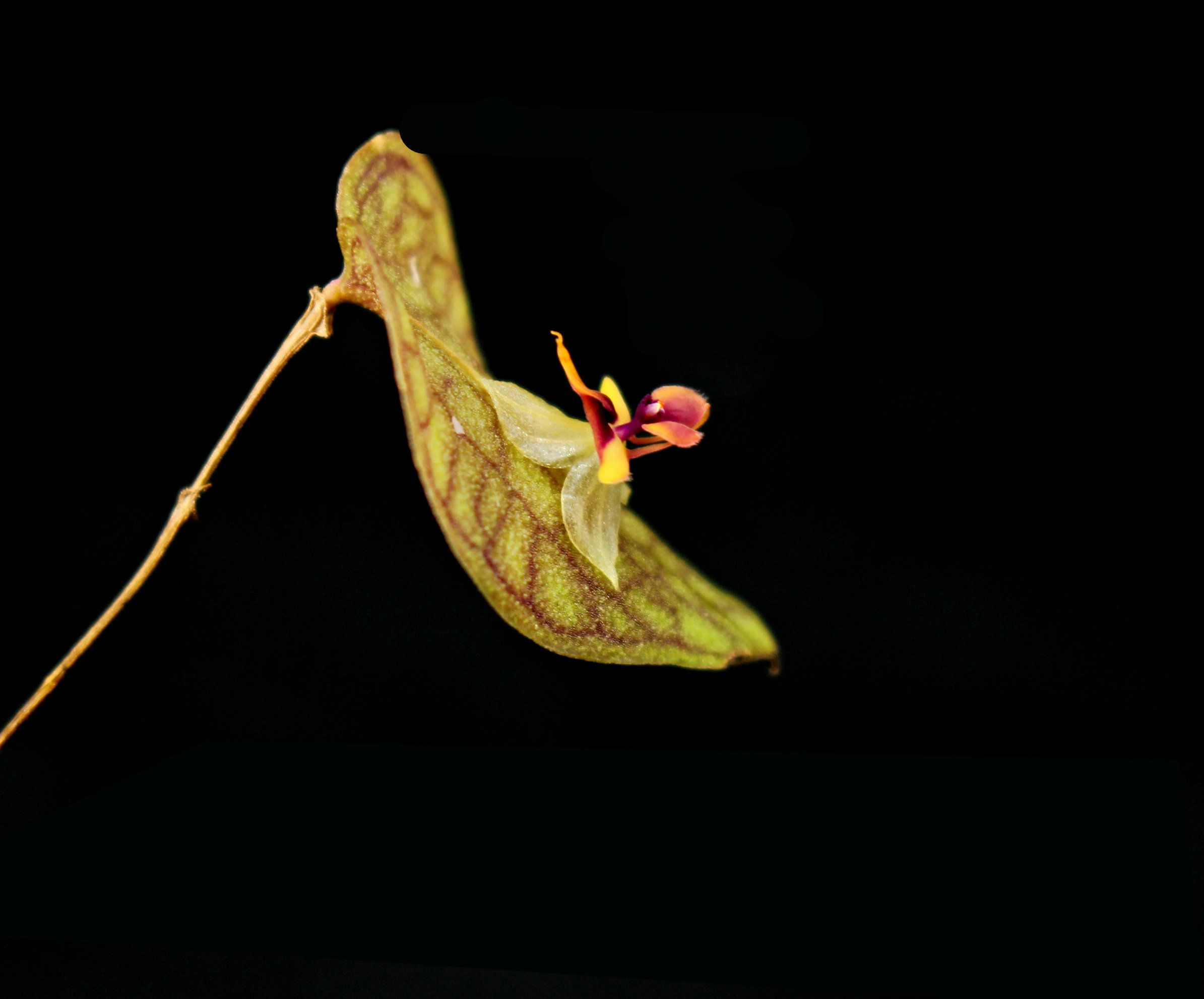 Lepanthes saltatrix orchid, side view
