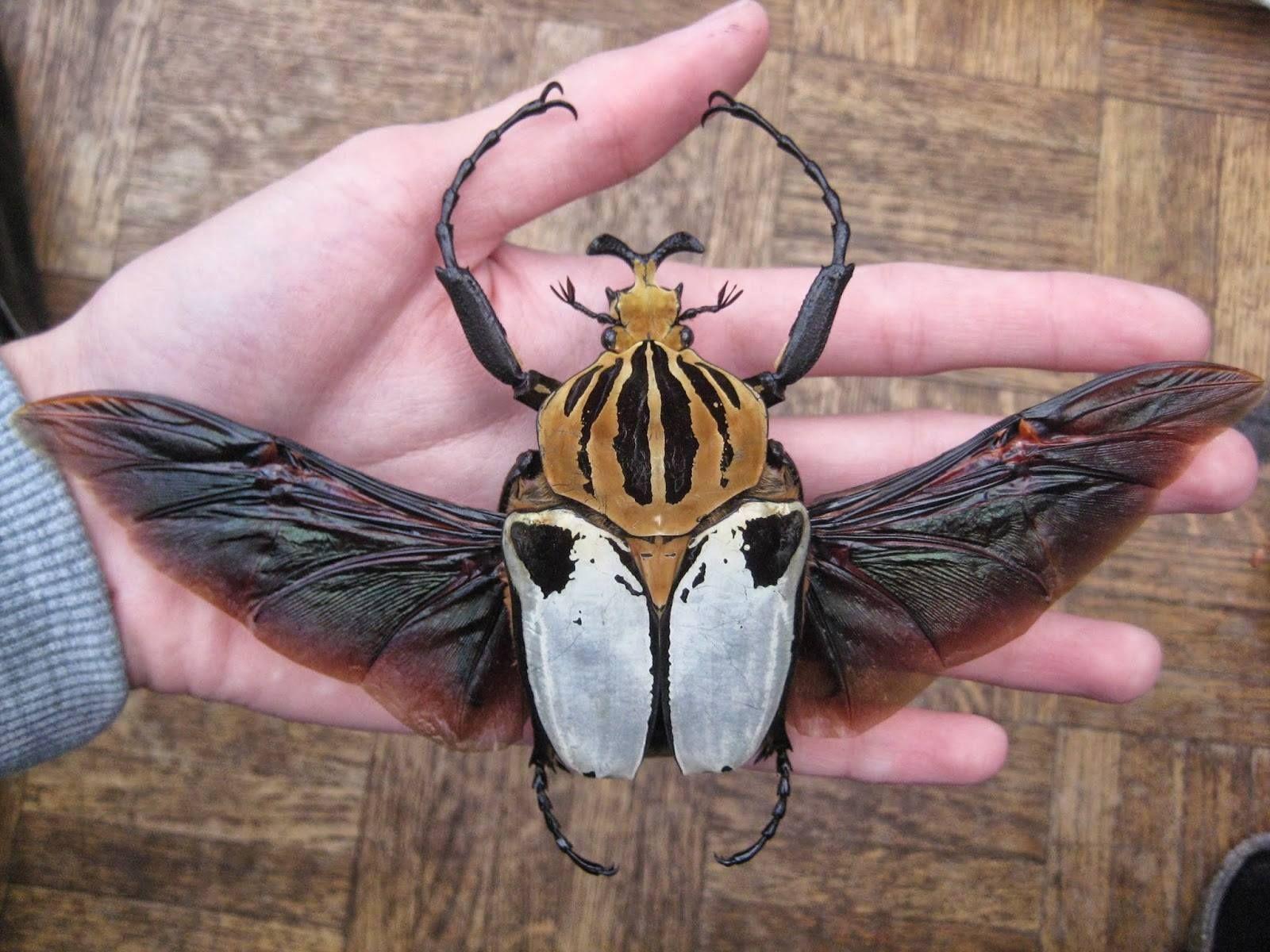Goliath Beetle Larvae