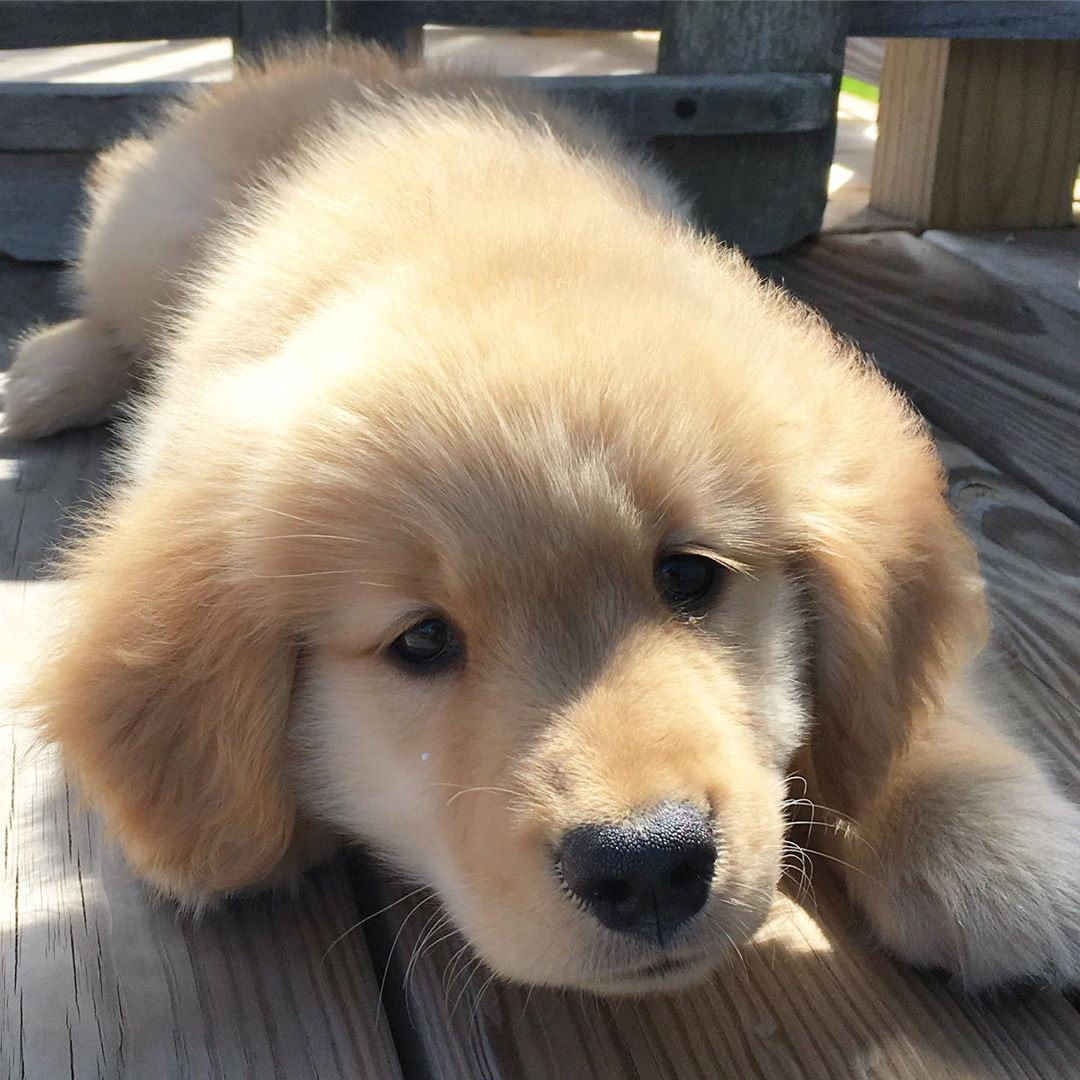 Whiskey The Golden Retriever On Instagram Caution Content