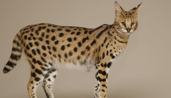 4 Savannah Cats Savannah Race Are Completely Domestic And They Are Much Loved In America And Compared With Dogs Pr Cat Breeds Large Cat Breeds Savannah Cat