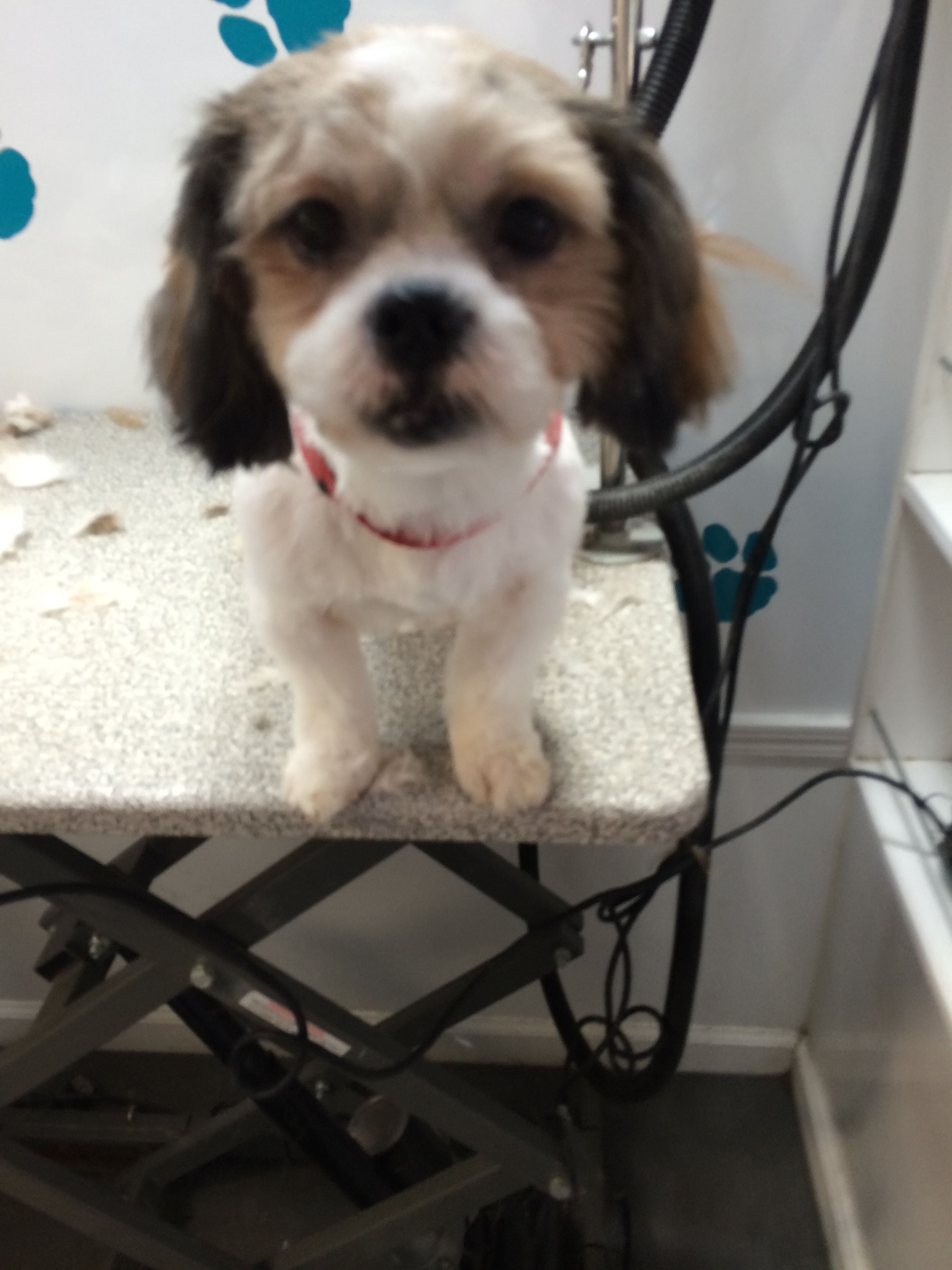 Bowser Who Is A Shih Tzu Is Right Around 10 Months Old And He Was A Gem To Work On I Did A 4f Blade Which Is About A Cute