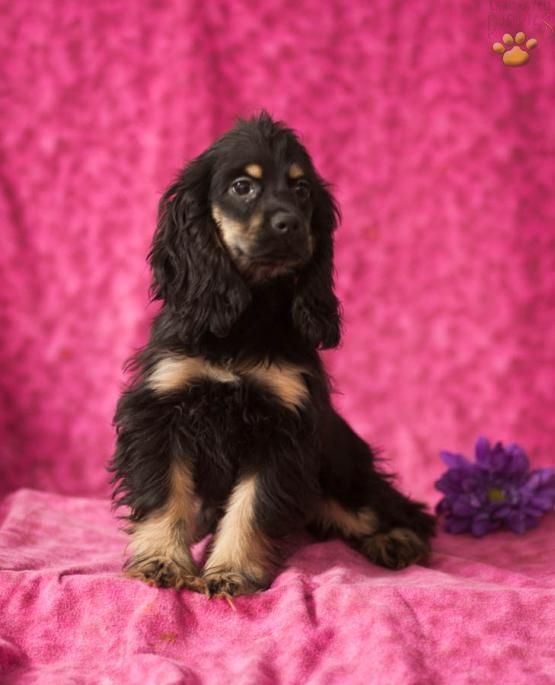 Dale Is An Affectionate Loving Sweet And Playful Cocker Spaniel Puppy He Comes With A Nice P Cocker Spaniel Cocker Spaniel Puppies Spaniel Puppies For Sale
