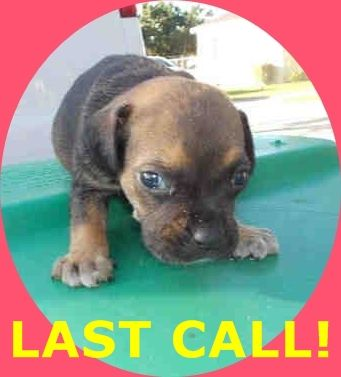 TOBY (A1674704) I am a male black and tan Terrier mix. The shelter staff think I am about 4 weeks old. I was found as a stray and I may be available for adoption on 01/23/2015. — hier: Miami Dade County Animal Services. https://www.facebook.com/urgentdogsofmiami/photos/pb.191859757515102.-2207520000.1422133713./915609781806759/?type=3&theater