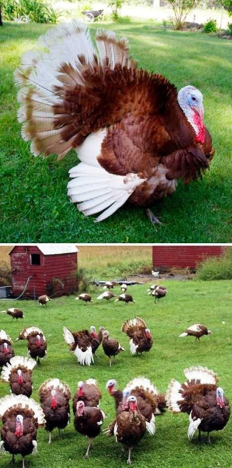 gobble this 8 amazing heritage turkey breeds webecoist