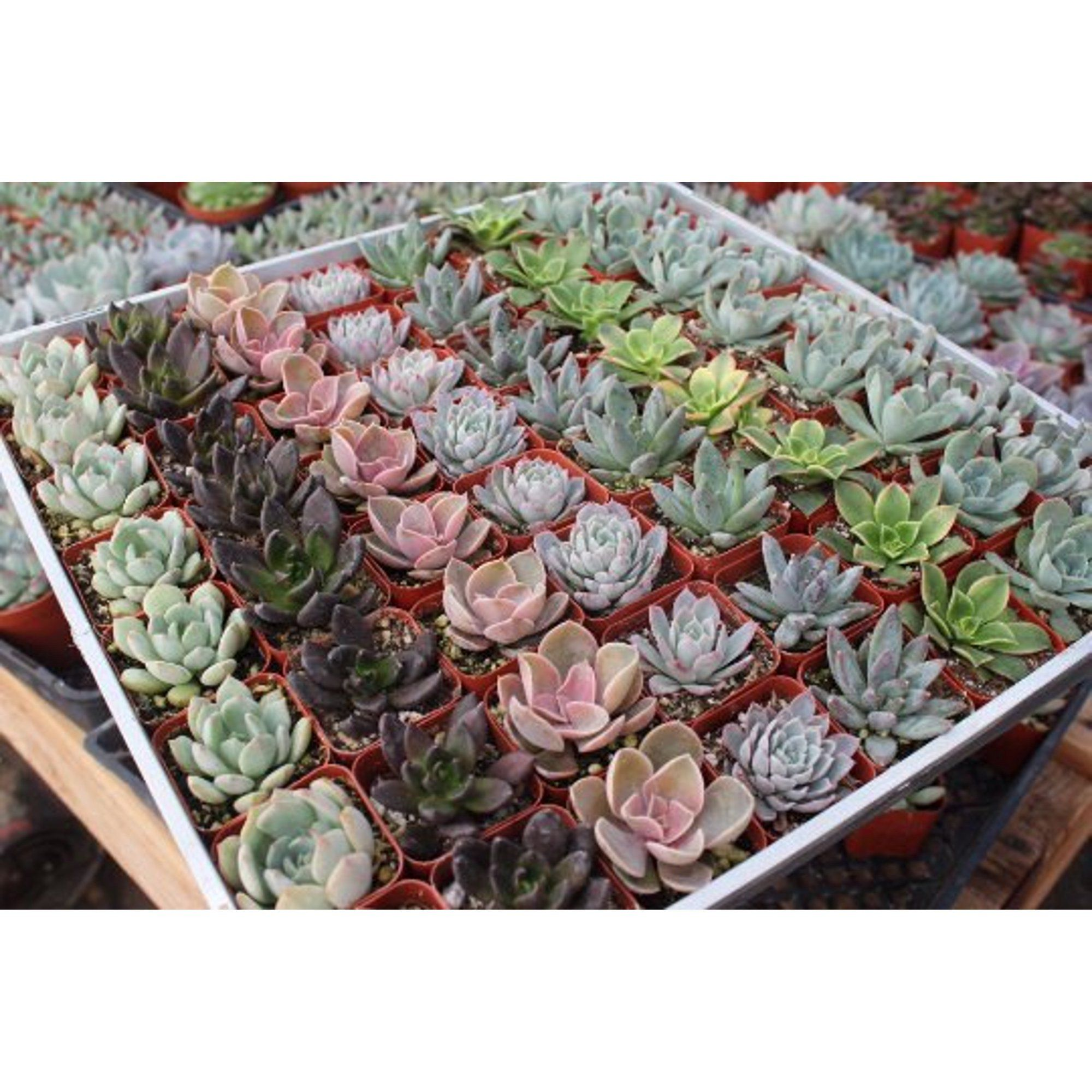 "Rosette Succulents for Wedding Favors, Party Gifts and Gardens - 2"" Live Succulent Plants - Walmart.com"