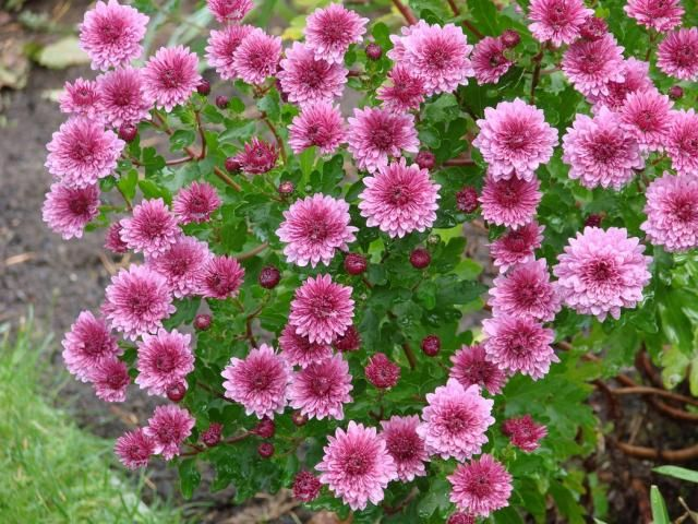 Aster Flowers In Red Pink Jpg In 2020 Aster Flower Flower Pictures September Flowers