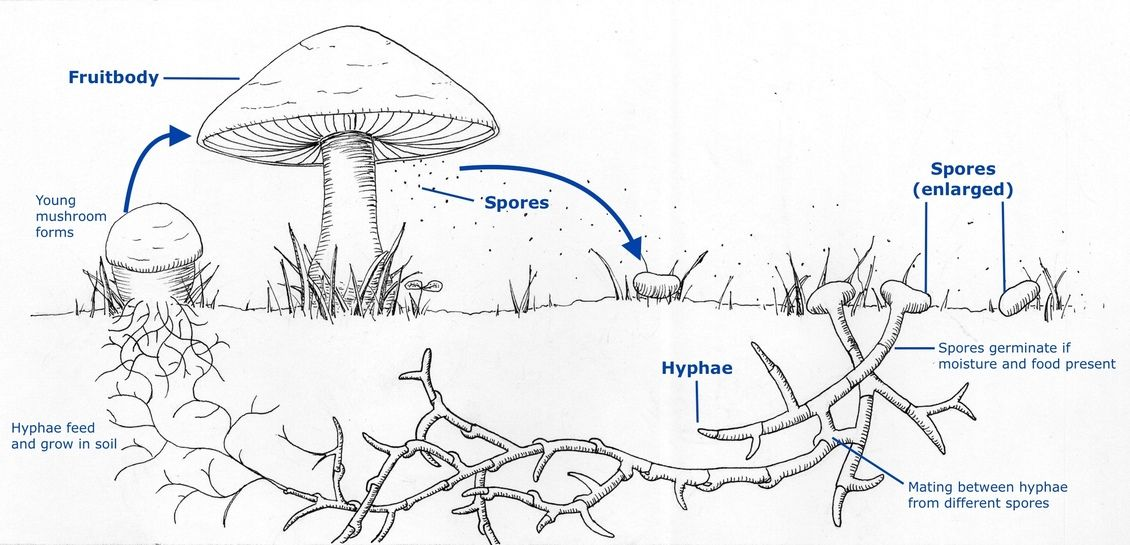 Mushroom Life Cycle Life Cycles Stuffed Mushrooms Plant Life Cycle